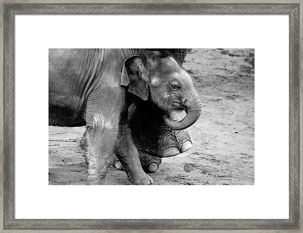 Baby Elephant Security Framed Print