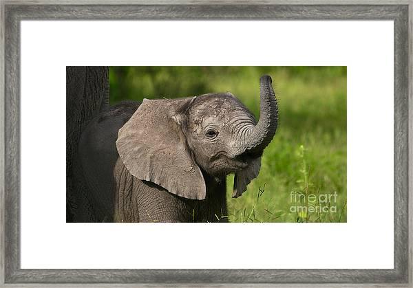 Baby Elephant Smelling Framed Print