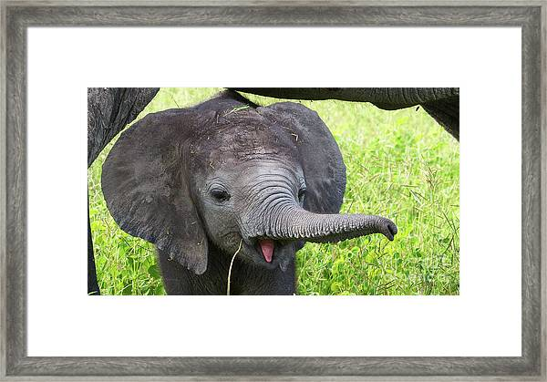 Baby Elephant With A Stick Framed Print