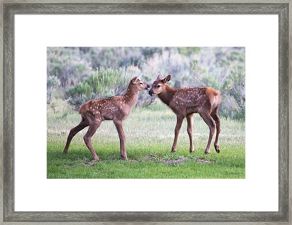 Baby Elk Framed Print