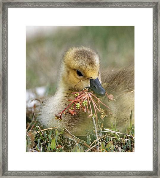 Baby Gosling Collecting Flowers Framed Print