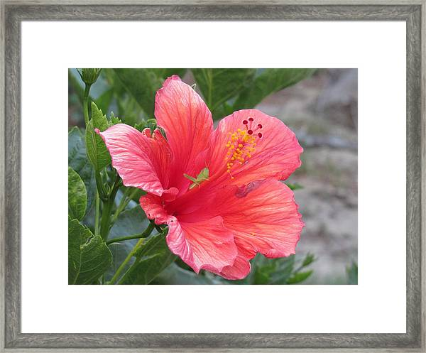 Framed Print featuring the photograph Baby Grasshopper On Hibiscus Flower by Nancy Nale