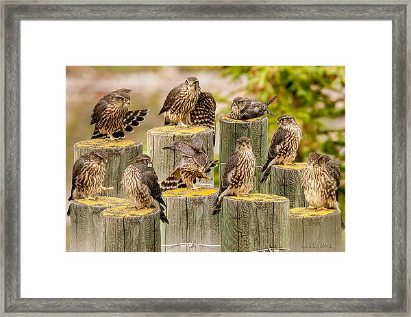 Framed Print featuring the photograph Baby Hawk Taking Inventory  Of Its Parts by Claudia Abbott