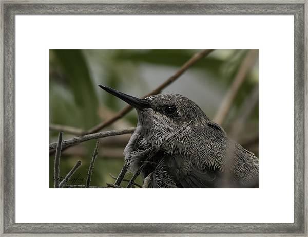Baby Humming Bird Framed Print