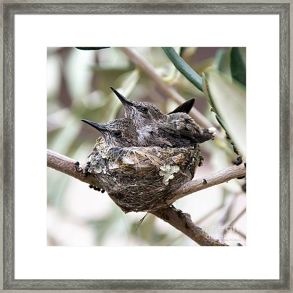 Baby Hummingbirds Outgrowing Their Nest Framed Print