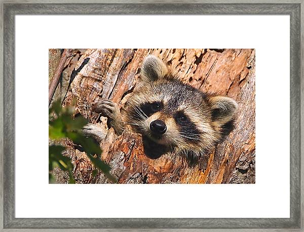 Framed Print featuring the photograph Baby Raccoon by William Jobes