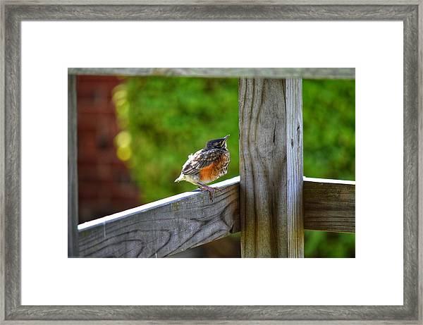 Baby Robin  Framed Print