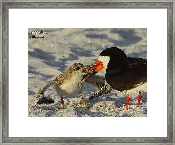 Baby Skimmer Feeding Framed Print