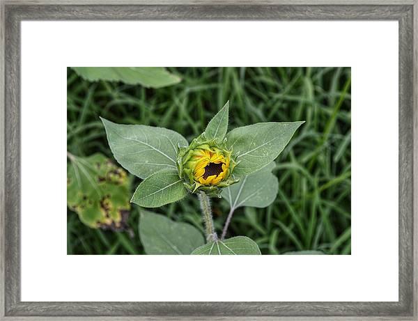 Baby Sunflower  Framed Print