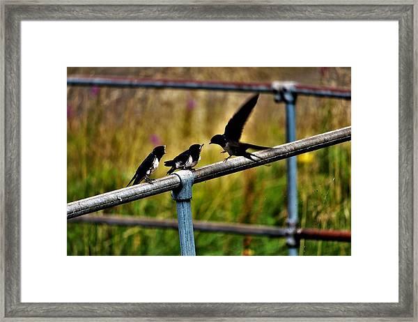 Baby Swallows Feeding Framed Print