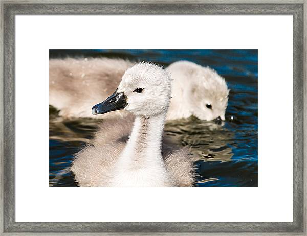 Baby Swan Close Up Framed Print