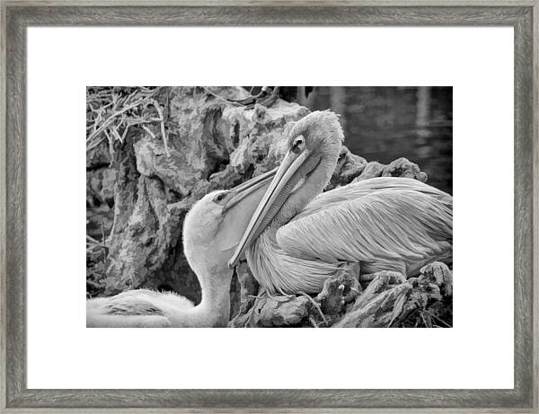Baby White Pelican Talks To Mother White Pelican Framed Print