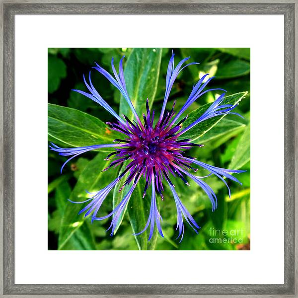 Bachelor Button Blossom Framed Print