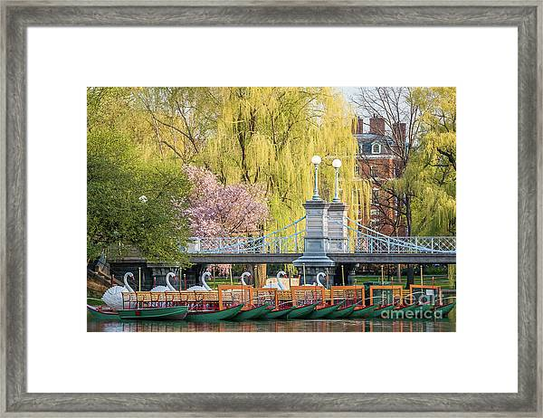 Framed Print featuring the photograph Back Bay Swans by Susan Cole Kelly