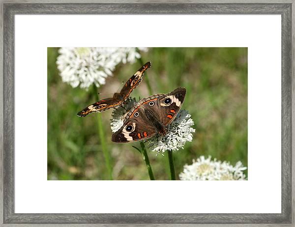 Back To Back Butterflies Framed Print