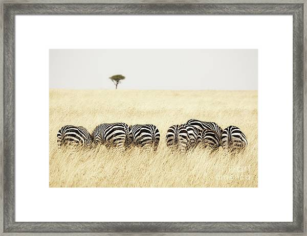 Back View Of Zebras In A Row  Framed Print