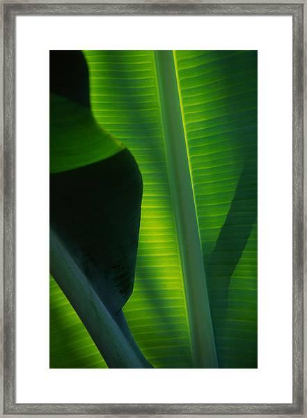 Backlit Banana Leaves Framed Print