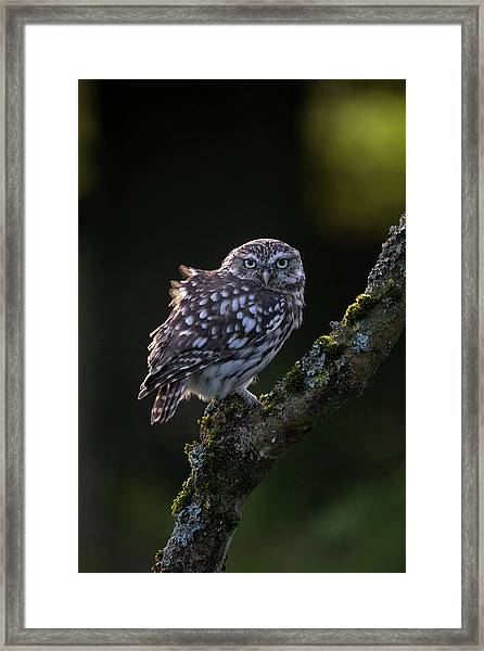 Backlit Little Owl Framed Print