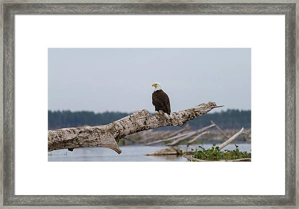 Bald Eagle #1 Framed Print