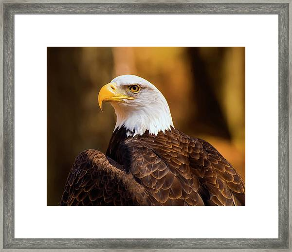 Bald Eagle 2 Framed Print