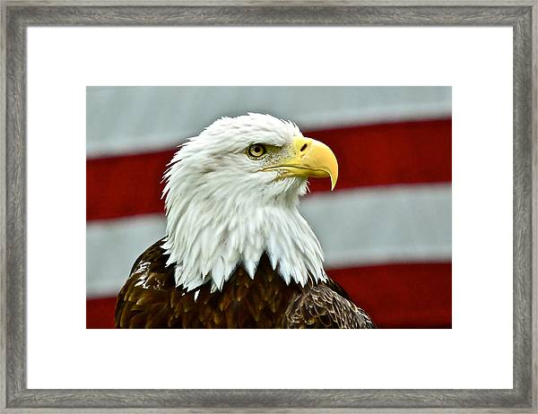Bald Eagle And Old Glory Framed Print