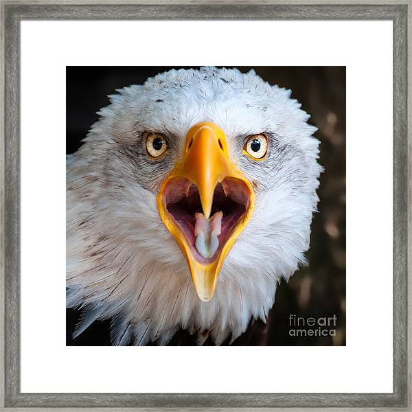 Bald Eagle Call Framed Print