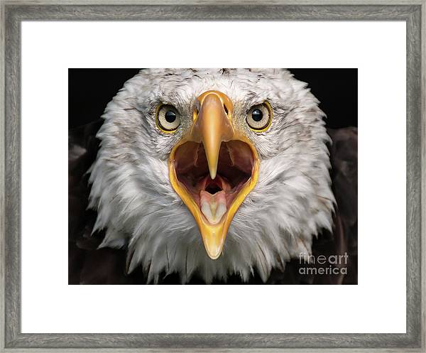 Bald Eagle Calling Framed Print
