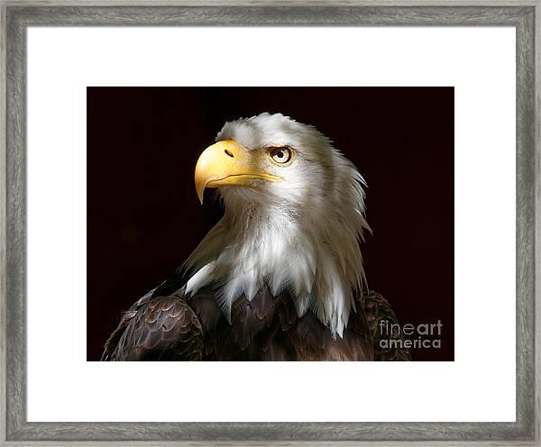 Bald Eagle Closeup Portrait Framed Print