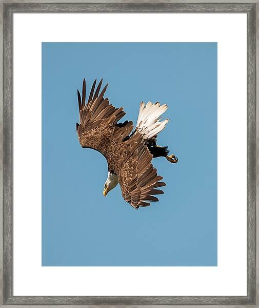 Bald Eagle Dive Framed Print