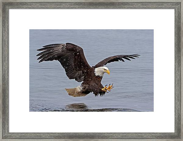 Bald Eagle Diving For Fish In Falling Snow Framed Print