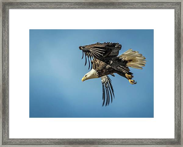 Bald Eagle Flight 1 Framed Print