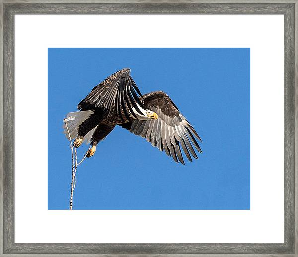 Bald Eagle Flight 3 Framed Print