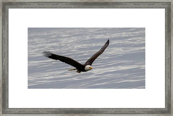 Bald Eagle Flying Over Water Framed Print