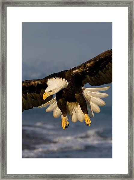 Bald Eagle In Action Framed Print