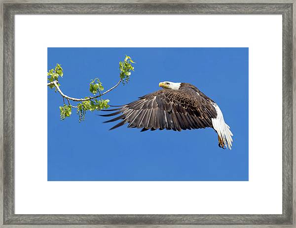 Bald Eagle In Flight 4-25-17 Framed Print