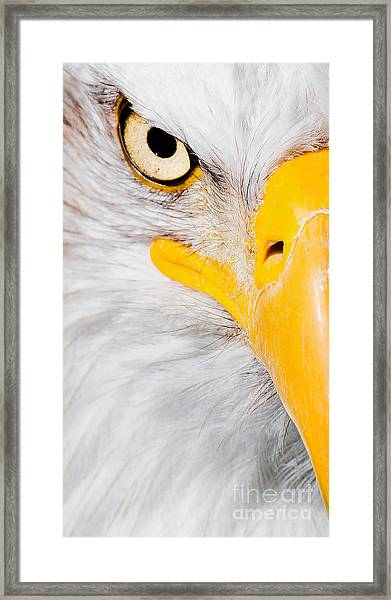 Bald Eagle In Focus Framed Print