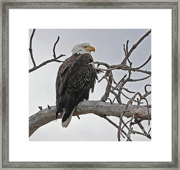 Framed Print featuring the photograph Bald Eagle In Profile by Bill Gabbert