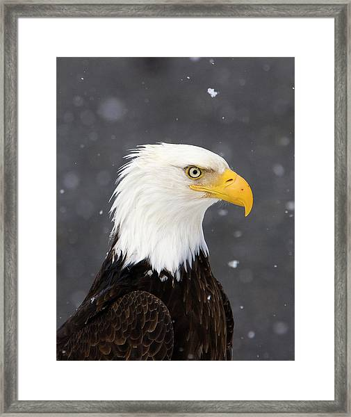 Bald Eagle Intensity Framed Print