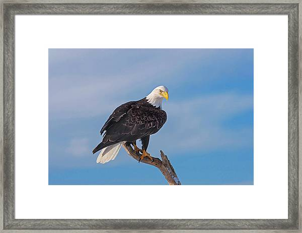 Bald Eagle Majesty Framed Print