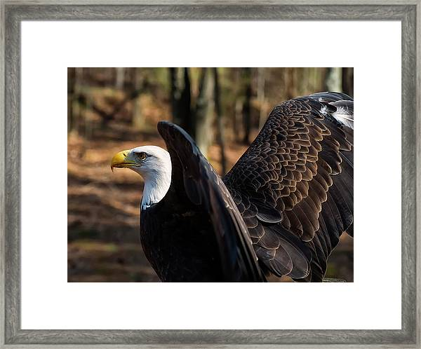 Bald Eagle Preparing For Flight Framed Print