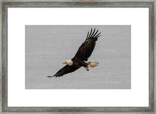 Bald Eagle Soaring Framed Print