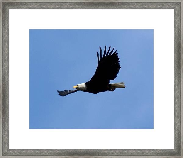 Bald Eagle Soaring High Framed Print