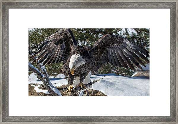 Bald Eagle Spread Framed Print
