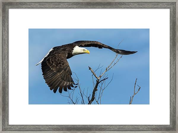 Bald Eagle Swoosh Framed Print