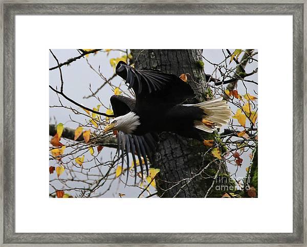 Bald Eagle Takes Flight Framed Print