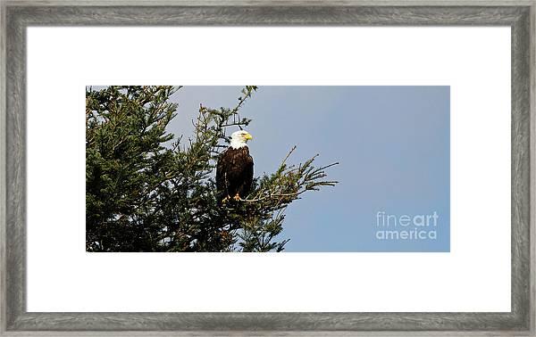 Bald Eagle - Taking A Break Framed Print