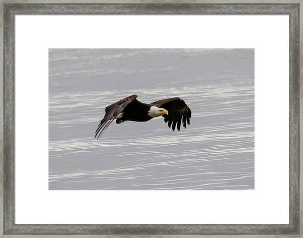 Bald Eagle Wing Tips Down Framed Print