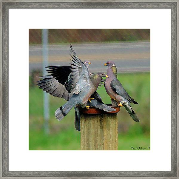 Band-tailed Pigeons #1 Framed Print