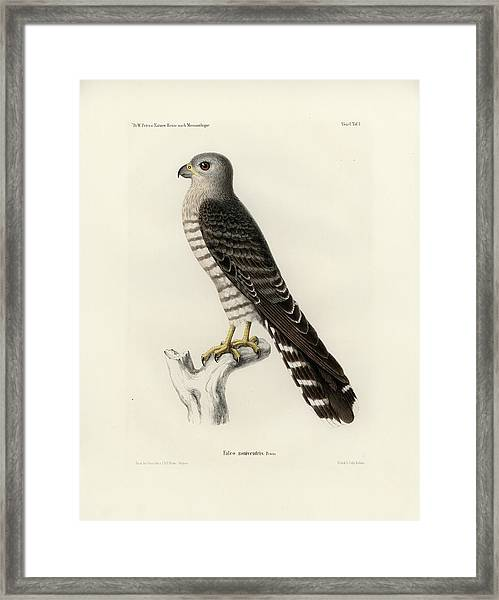 Framed Print featuring the drawing Banded Kestrel by J D L Franz Wagner