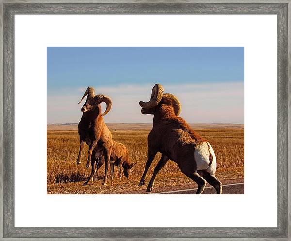 Bang Of The Bighorn Framed Print